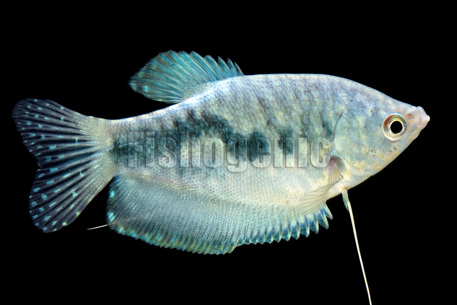 Blue gourami gallery fishogenic for What fish is this