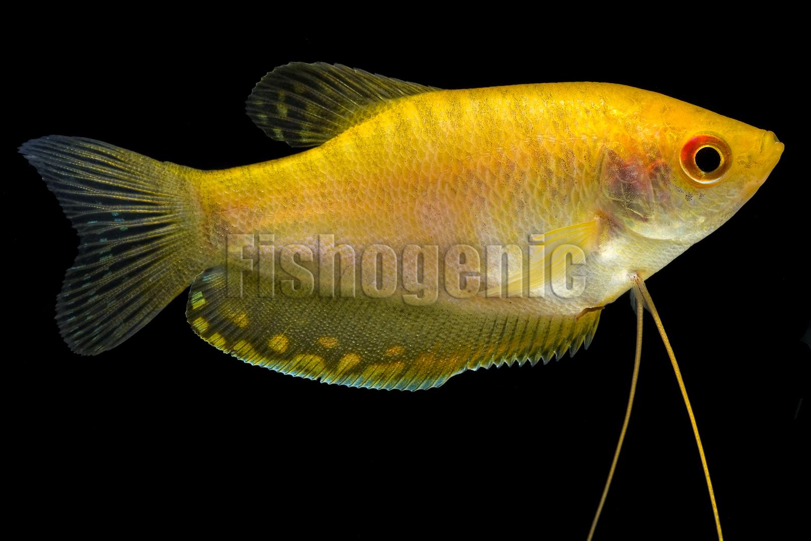 Female blue gourami fish