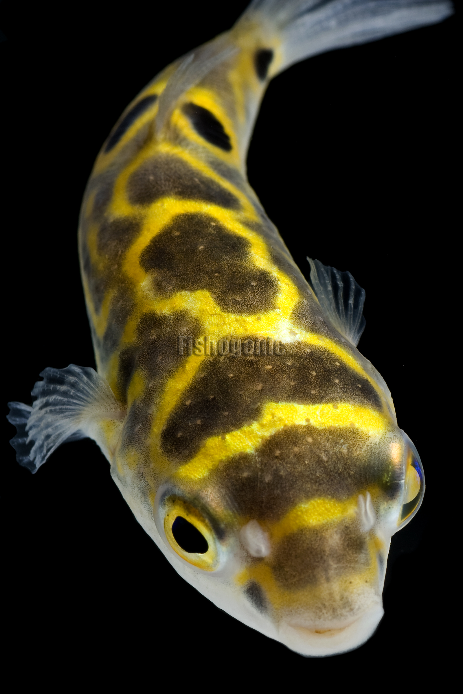 Figure Eight Puffer Fishogenic
