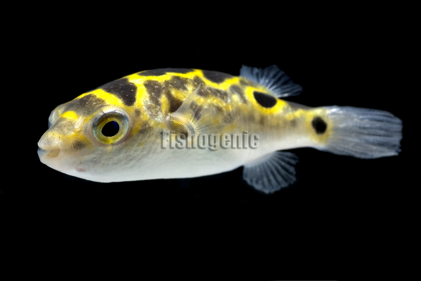Figure 8 puffer fish tetraodon biocellatus gallery for 95 9 the fish