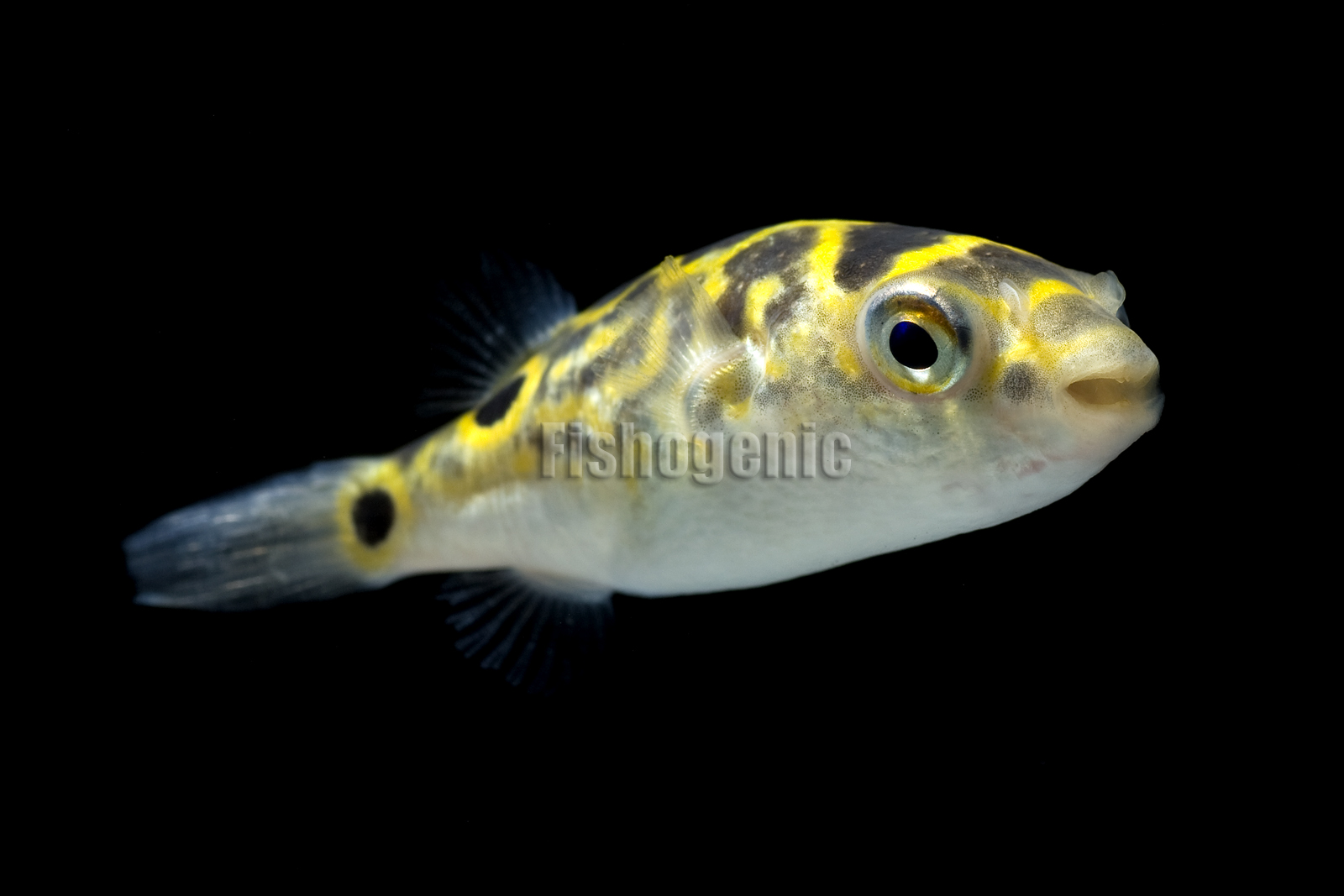 Figure 8 Pufferfish : Figure 8 Puffer Fish (Tetraodon biocellatus) Gallery Fishogenic